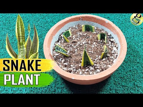 SNAKE PLANT – Sansevieria Care Tips and Propagation by leaf cuttings and also Rhizome Divisions