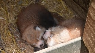 Red panda cubs at Auckland Zoo