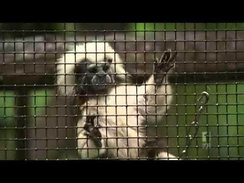 Endangered monkey gives birth