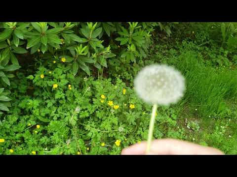 How to Grow Dandelions without a University Degree