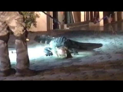 Alligator found in garage in Florida