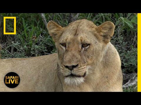 Safari Live - Day 134 | National Geographic