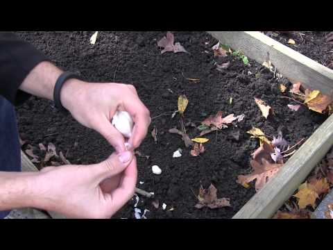 How to Grow Garlic In Spring or Fall - Complete Growing Guide   MIgardener