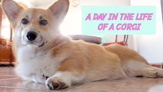 A DAY IN THE LIFE OF A CORGI