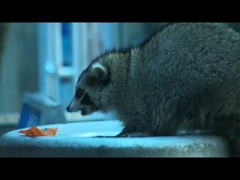 Sick raccoon that bit cop prompts concerns of rabies