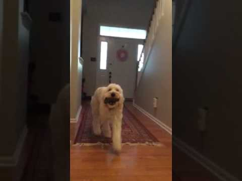 12 month old Goldendoodle Service Dog Going Upstairs to Find and Retrieve My Cell Phone.
