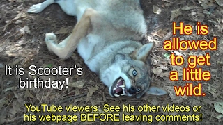 Coyote named Scooter - 078 - wild birthday