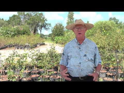 How to Grow Citrus Trees (Orange Trees, Tangerine Trees, Lemon Trees, Lime Trees, Grapefruit Trees)