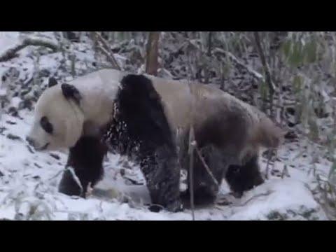 Wild panda winter survival - Wild China - BBC