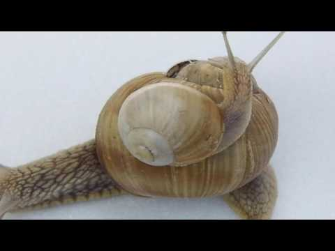 Xxx Mp4 The Land Snail Mother Snail With Baby 1 3gp Sex