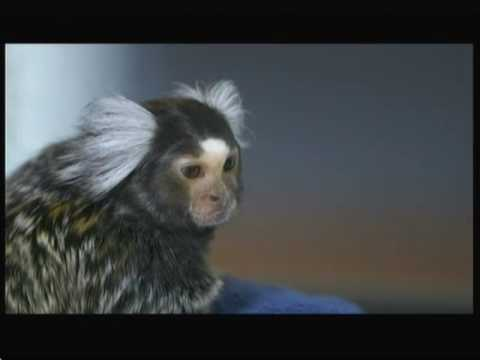Do monkeys make good pets? (UK) - BBC - 28th April 2016