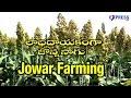 Download  Jowar (jonna) Farming In Rice Fallows By Guntur Farmers : Paadi Pantalu | Express Tv MP3,3GP,MP4
