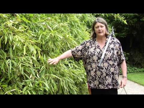 How to Prune Bamboo - Instructional Video w/ Plant Amnesty