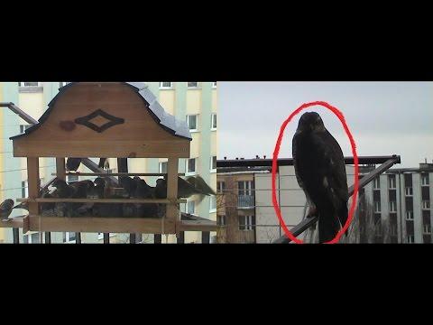 Bird of Prey Attacks birds on the balcony
