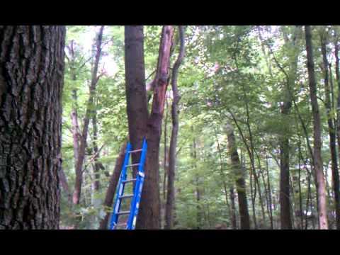 Cutting large oak limb from tree.