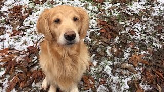 Golden Retriever Plays in the Snow