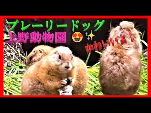 上野動物園👸🐼可愛いプレーリードッグに会ってきたよ!ヽ(⌒ー⌒)ノ♪😻Cute Prairie dogs Ueno Zoo Tokyo Japan !