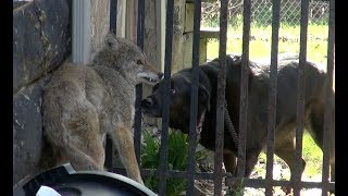 Download Dog Confronts Cornered Coyote!!! Video