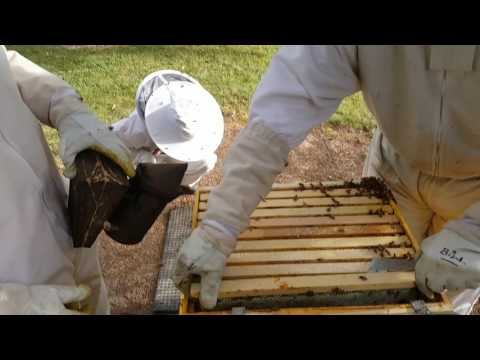 Treating a hive with powder sugar for Varroa Mite (Destructor)