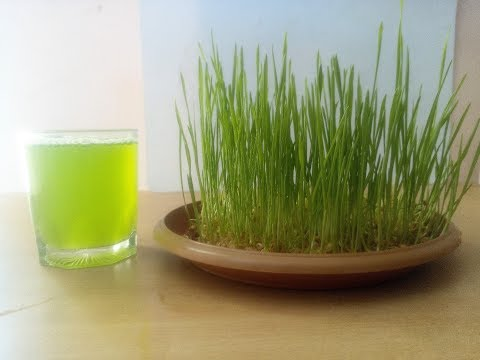 How to grow wheatgrass without soil at home in Hindi / Benefits of wheat grass juice / Health tips