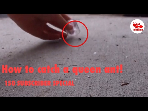 How To Catch A Queen Ant | 150 SUBSCRIBER SPECIAL!!!