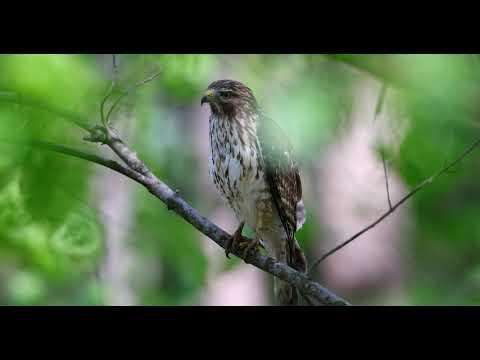 Red Shouldered Hawk 4 17 2018