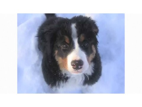 Pros & Cons of a Bernese Mountain Dog | Dog Breeds