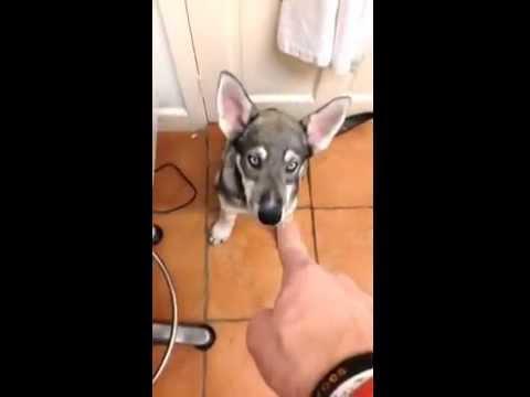 Puppy Wulfdog has no remorse