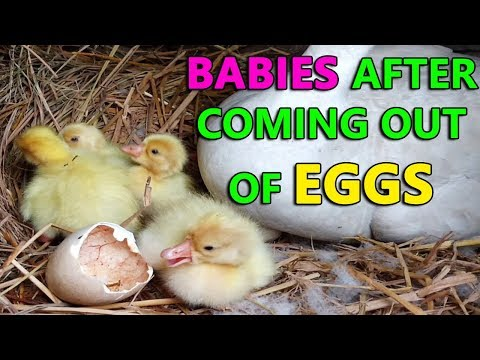 Duck Babies just come out of eggs | Cute Ducklings see the World First Time