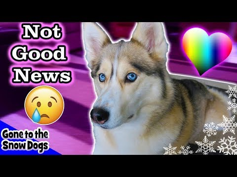 Shelby's Surgery Results Not Good News | Shelby the Husky after Surgery at the vet