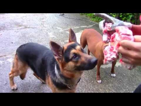 ( feeding video ) raw beef oxtail for dogs