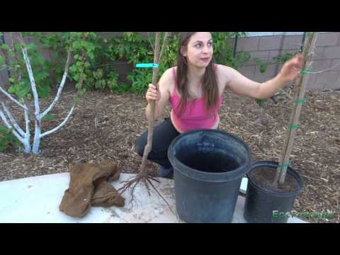Bare Root vs Potted Fruit Trees. Where/Which to Buy to Get Fruit Faster & Save Money?