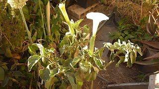 زراعة واكثار نبتة داتورا وفوائدها وردة بيضاءDatura