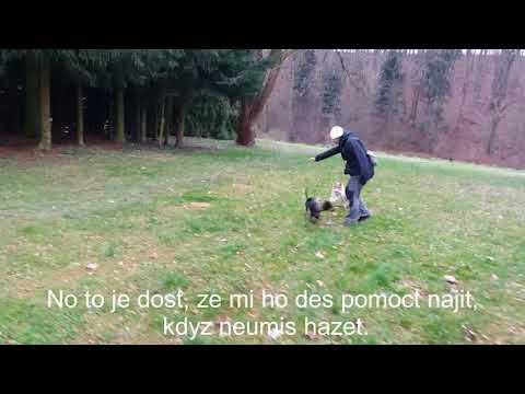 Abbey Manchester Terrier, Coffee Shetland Sheepdog (7 months)