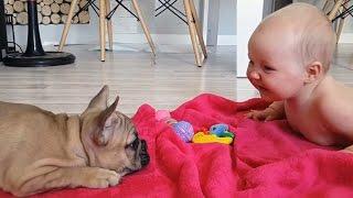 Los bebés lindo que juega con divertido Bulldogs Compilación 2016 - NUEVOS VIDEOS