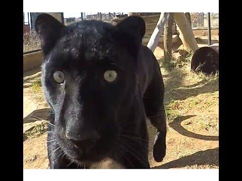 Black Leopard Love | African Big Cat Shows Affection Loves Grooming & Being Groomed | Panther Jaguar