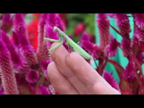 Praying Mantis Loves The Greenery!
