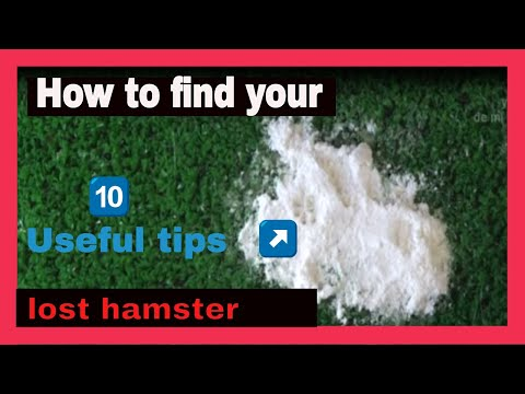 HAMSTERS - How to find a lost hamster. Useful tips.