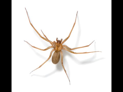 Dangerous Spiders: What you need to know about the black widow and brown recluse
