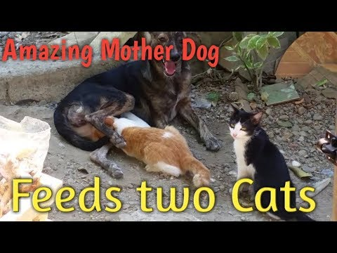 Xxx Mp4 Amazing Mother Dog Breast Feeding Two Cats 3gp Sex