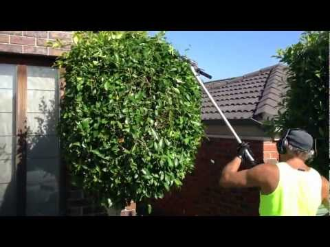 hedge trimming making them round balls gardening hedge master is showing you how to