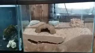 Download Desert Hairy Scorpion burrowing setup Video
