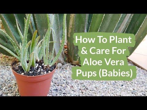 How To Plant & Care For Aloe Vera Pups (Babies) / Joy Us Garden