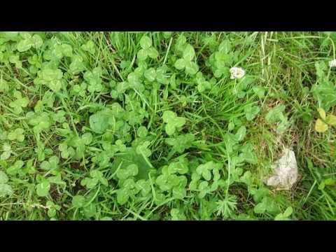 Find four-leaf clovers