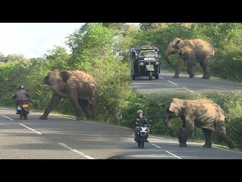 wild elephant chasing vehicles at the Katharagama (Sri lanka)