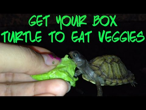 how to get your box turtle to eat veggies