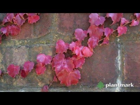 Boston Ivy & Virginia Creeper at Plantmark Wholesale Nuseries