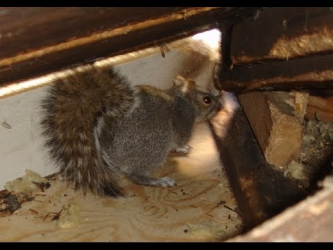 Squirrels playing fighting breeding in my Attic (Ways to Get Rid of Ceiling Floor Walls Help Remove