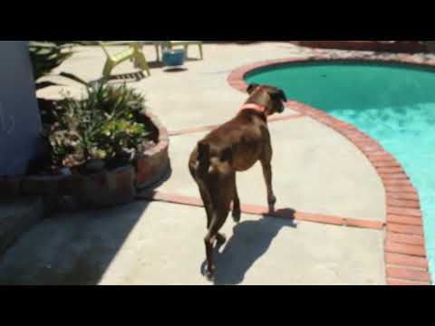 BOXER PROTECTS HIS SWIMMING POOL