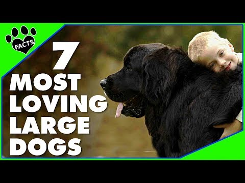 7 Most Affectionate Loving Large Dog Breeds Dogs 101 – Animal Facts.